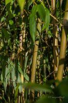 Phyllostachys humilis