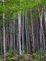 Bambou phyllostachys pubescens Mazel