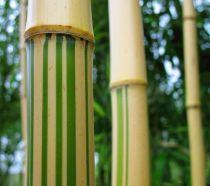Bambou phyllostachys vivax Aureocaulis