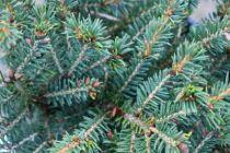 Picea abies \'Nidiformis\'
