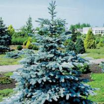 Picea pungens \'Koster\'
