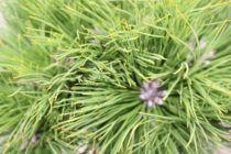 Pinus* nigra \'Marie Bregeon\'