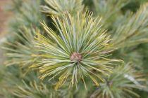 Pinus* strobus \'Radiata\'