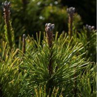 Pin mugo mugus, conifère nain au feuillage vert plus large que haut aux branches basses étalées.