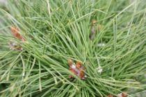 Pinus nigra \'Bambino\'
