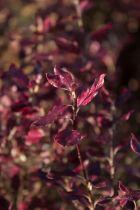 Pittosporum tenuifolium \' Tom Thumb\', petit arbuste persistant aux feuilles vert tendre à la naissance finissant pourpre.