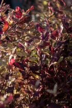 Pittosporum tenuifolium \' Tom Thumb\'
