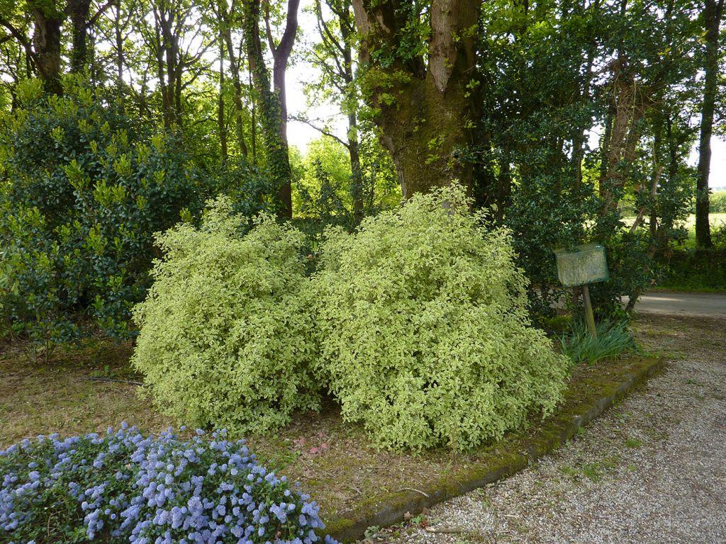 pittosporum tenuifolium variegatum A