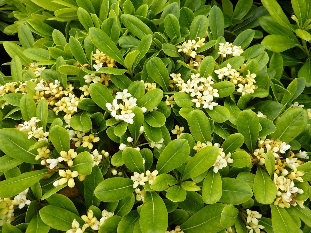Pittosporum tobira 39 nana 39 for Arbuste persistant ombre le havre