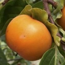 Plaqueminier - Kaki \'Muscat\', arbre fruitier caduc à feuilles vertes et aux fruits orange en automne.