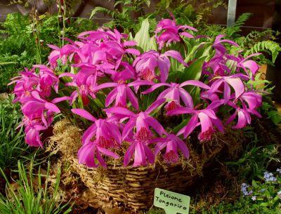 Pleione 39 tongariro 39 ou orchid e vivace for Soldes plantes vivaces