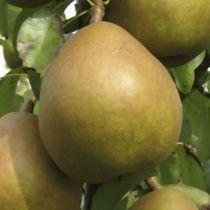 Poirier \'Angelys\', arbre fruitier caduc à feuille verte et aux fruits bronzé en automne.