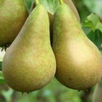 Poirier \'Conférence\', arbre fruitier caduc à feuille verte et aux fruits jaune vert en automne.
