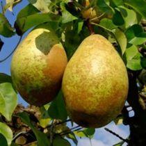 Poirier \'Contesse de Paris\' arbre fruitier caduc à feuille verte et aux fruits jaune-vert piqueté de marron en automne.