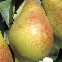 Poirier \'Duc de Bordeaux\', arbre fruitier caduc à feuille verte et aux fruits jaune et légèrement rosé en automne.