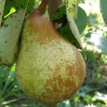 Poirier \'Duchesse d\'Angouleme\', arbre fruitier caduc à feuille verte et aux fruits jaune teinté de rouge en automne.