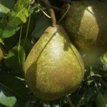 Poirier \'Général Leclerc\', arbre fruitiers caduc à feuille verte et aux fruits bronzé clair en automne.