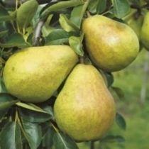 Poirier \'William\', arbre fruitier caduc à feuille vert et aux fruits verts en été.