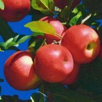Pommier \'Ariane\', Arbre fruitier à feuilles caduc verte et aux fruits rouge et jaune en été.