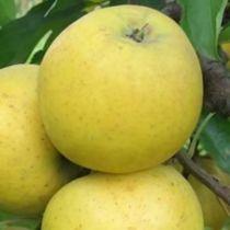 Pommier \'Belchard\', arbre fruitier à feuille caduc verte et aux fruits jaune en été.