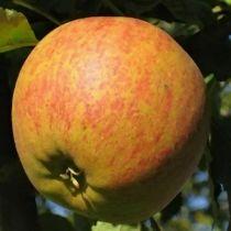 Pommier \'Cox Orange Pippin\', arbre fruitier à feuille caduc verte et aux fruits jaune strié de rouge en automne.
