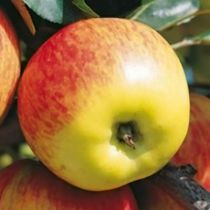 Pommier \'Delbarestivale\' ® monidel, arbre fruitier à feuille caduc verte et aux fruits rouge et jaune en été.
