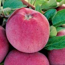 Pommier \'Delbartardive\' ® deljorom, arbre fruitier à feuille caduc verte et aux fruits rouge en automne.