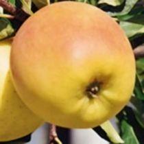Pommier \'Doriane\', arbre fruitier à feuille caduc verte et aux fruits jaune en automne.