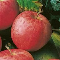 Pommier \'Gala\', arbre fruitier à feuille caduc verte et aux fruits rouge en été.