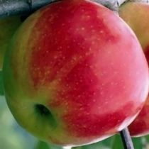 Pommier \'Jonagold\', arbre fruitier à feuille caduc verte et aux fruits jaune strié de rouge en hiver.
