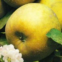 Pommier \'Reinette Clochard\', arbre fruitier à feuille caduc vert et aux fruits jaune au printemps.
