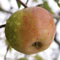 Pommier \'Reinette d\'Armorique\', arbre fruitier à feuille caduc verte et aux fruits jaune rougeâtre en hiver.
