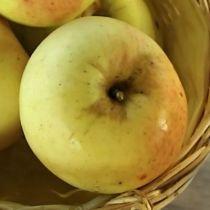 Pommier \'Transparente de Croncels\', arbre fruitier à feuille caduc verte et aux fruits jaune en été.