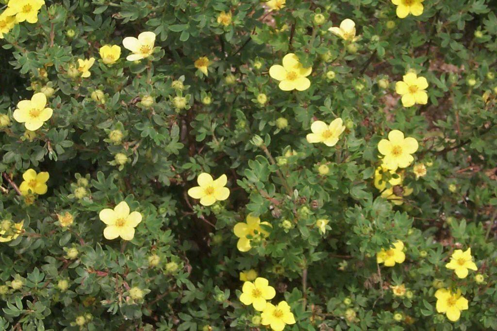 Potentilla fruticosa 39 arbuscula 39 - Arbuste a fleurs jaunes ...