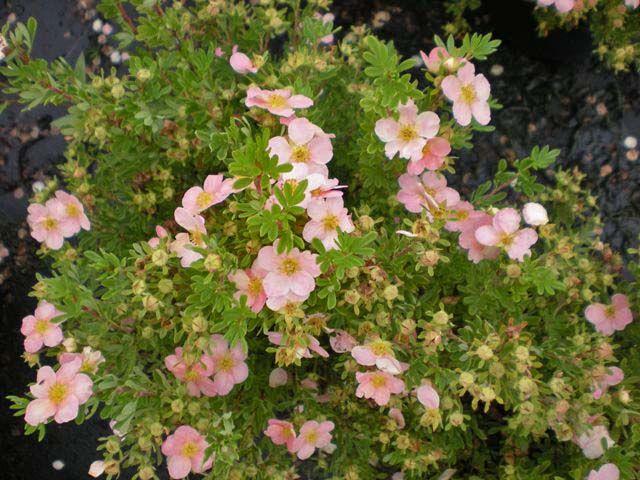Potentilla fructicosa \' Lovely Pink \'