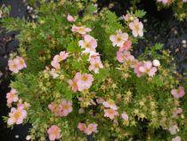 Potentilla fruticosa \'Lovely pink\'