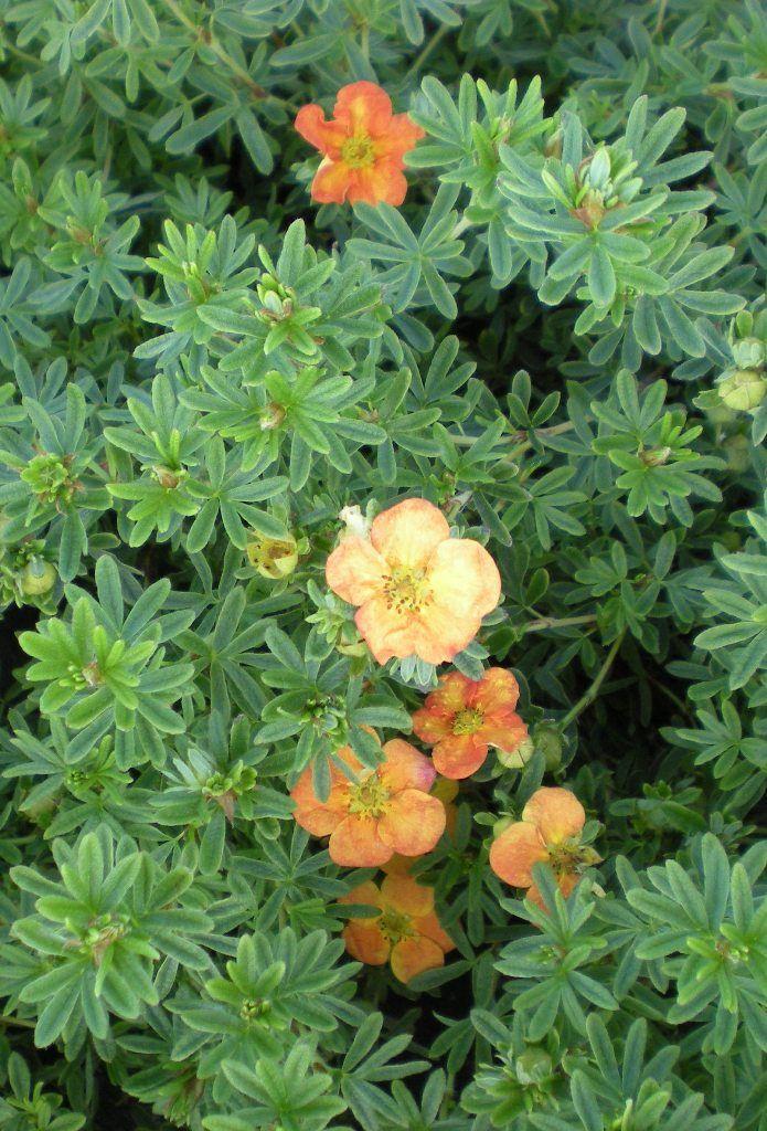 Potentilla fruticosa \'Red Ace\'