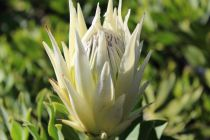 Protea \'White Crown\'