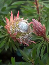 Protea cynaroides \'Mini King\'