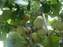 Prunier chambourcy