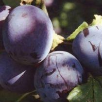 Prunier \'Monsieur Hatif\', arbre fruitier caduc à feuille verte et aux fruits bleuté en été.