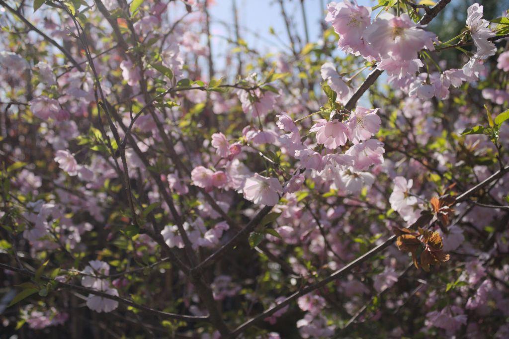 Prunus 39 accolade 39 - Arbre rose japon ...