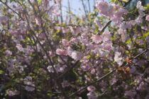 Prunus \' Accolade \', arbre au feuillage caduc vert foncé teinté de jaune de cuivre de rouge enautomne. fleurs rosé au printemps.