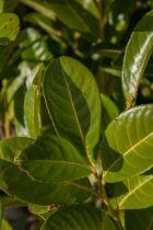 Prunus laurocerasus \' Rontundifolia \', arbuste persistant au feuillage vert rond et aux fleurs en panicules blanches au printemps suivies de baies noires.