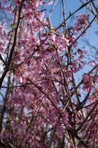 Prunus Okame, arbre au feuillage caduc bronze et rouge orangé à l\'automne. Ecorce gris brun pourpré. Petites fleurs rose foncé puis rose vif.