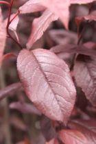 IMG_5863, arbre au feuillage caduc pourpre et aux fleurs rose au printemps.