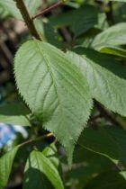 IMG_0225, arbre caduc au feuillage vert bronze puis vert foncé. Floraison blanche au printemps. Ecorce brun acajou.