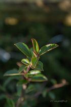 Pyracantha \' Jaune \', arbuste persistant au feuillage vert épineux et aux fleurs blanches au printemps suivies de fruits jaunes en automne.