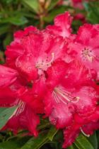 Rhododendron Half lan Dem, arbuste persistant vert aux fleurs rouge vif au printemps.