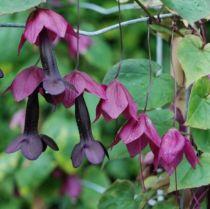 Rhodochiton atrosanguineum \'Purple Bells\'